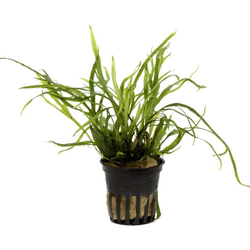 Aquarium Pflanze Microsorum pteropus Trident Wasserpflanze Tropica Topf Nr.008G Bild 3