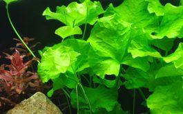 Aquarium Pflanze Nymphoides hydrophylla Taiwan Tropica Nr.041B Bild 1