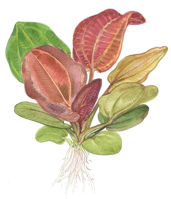 Aquarium Pflanze Echinodorus 'Reni' rot Tropica Nr.072D Bild 2