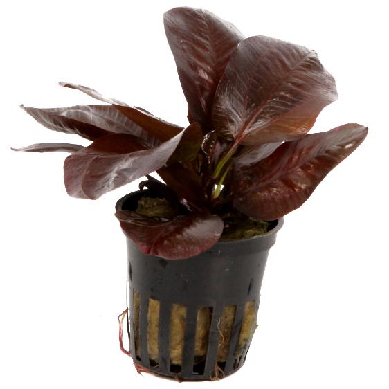 Aquarium Pflanze Echinodorus 'Reni' rot Tropica Nr.072D Bild 3