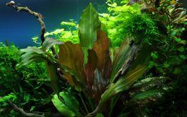 Aquarium Pflanze Echinodorus 'Reni' rot Tropica Nr.072D Bild 1