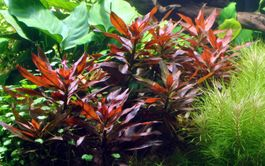 Pflanzen Set 6 schöne rote Tropica Topf Pflanzen Aquariumpflanzenset Nr.10 Bild 6