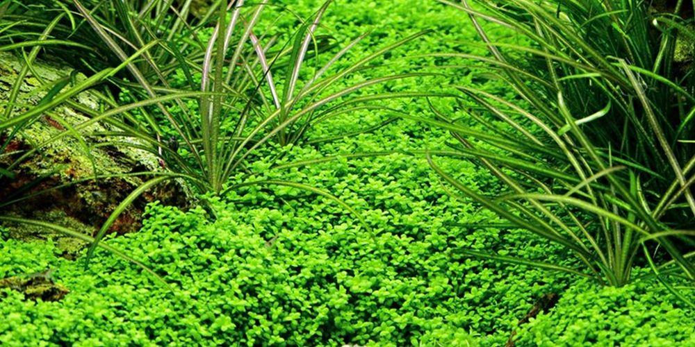 Aquarium Pflanze Hemianthus Callitrichoides Cuba Wasserpflanzen Nr