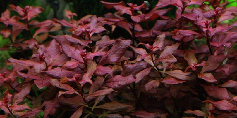 Aquarium Pflanze Ludwigia palustris Tropica Nr.035B