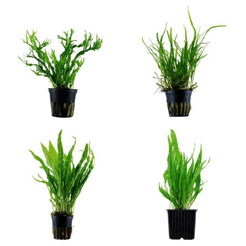 Tropica Pflanzen Set 4 Javarfarn inkl. Mutterpflanze Aquariumpflanzenset Nr.15
