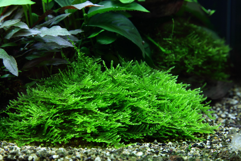 Aquarium Pflanze Moos Taxiphyllum 'Spiky' Tropica Nr.003G TC in Vitro 1-2 Grow