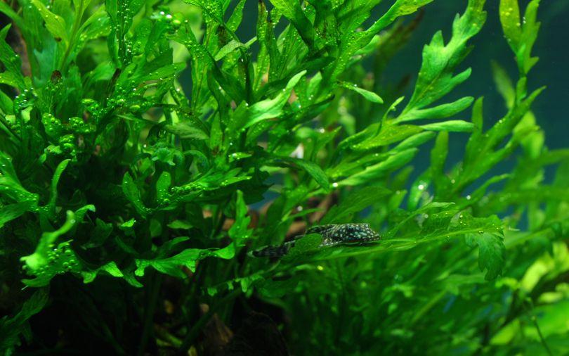 Aquarium Pflanze Bolbitis heudelotii Tropica Nr.006