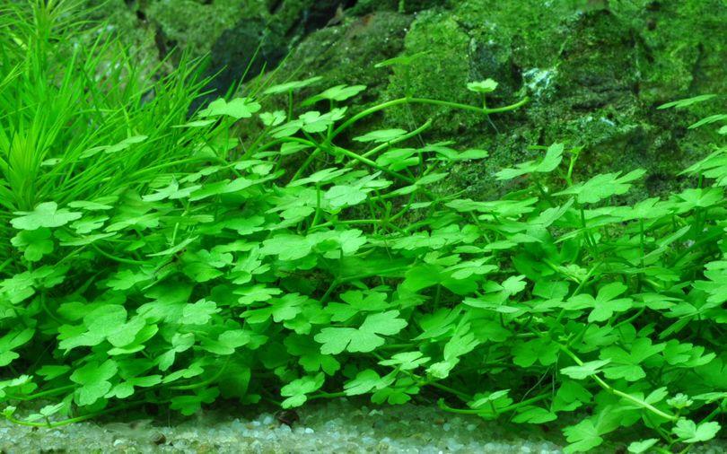 Aquarium Pflanze Hydrocotyle tripartita von Tropica Nr.039B