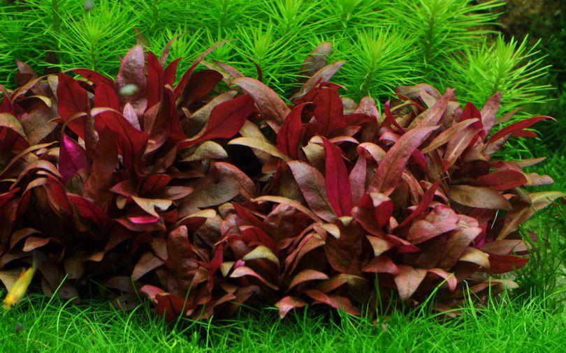 Aquarium Pflanze Alternanthera reineckii 'Mini' Tropica Nr.023C TC in Vitro