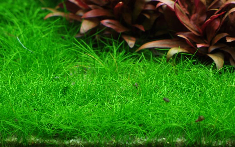 Aquarium Pflanze Eleocharis acicularis 'Mini' Tropica Nr.132B TC in Vitro
