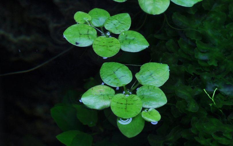 Aquarium Pflanze Limnobium laevigatum Tropica Nr.063 TC in Vitro