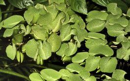 Aquarium Pflanze Salvinia auriculata Tropica Nr.011 TC in Vitro Bild 1