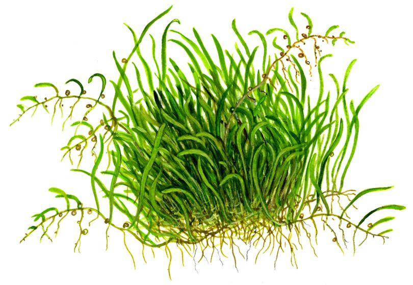 aquarium pflanze utricularia graminifolia tropica. Black Bedroom Furniture Sets. Home Design Ideas