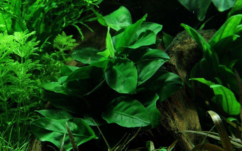 Einsteiger Maxi Set mit 10 Tropica Topf Pflanzen Aquariumpflanzenset Nr.37 Bild 3