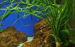 Exclusives Set mit 3 Tropica Topf Pflanzen Aquariumpflanzenset Nr.40 Bild 2