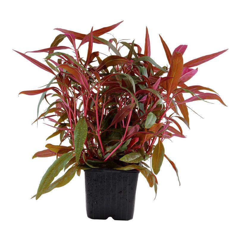 Mutterpflanze Aquarium Pflanze Alternanthera reineckii 'Pink' Tropica Nr.023 XL Aquarium