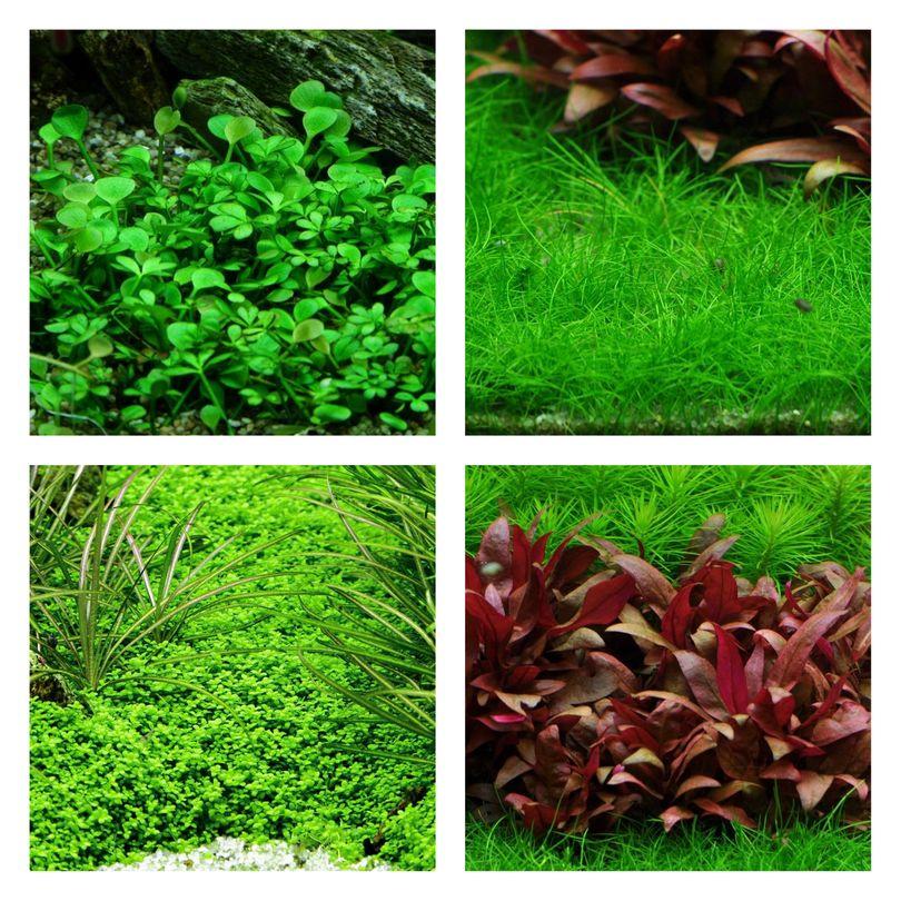 Vordergrund Set mit 4 Tropica in Vitro Pflanzen Aquariumpflanzenset Nr.50
