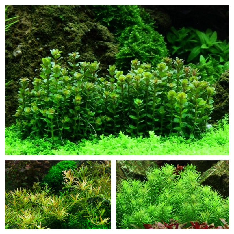 Mitte Set mit 3 Tropica in Vitro Pflanzen Aquariumpflanzenset Nr.53