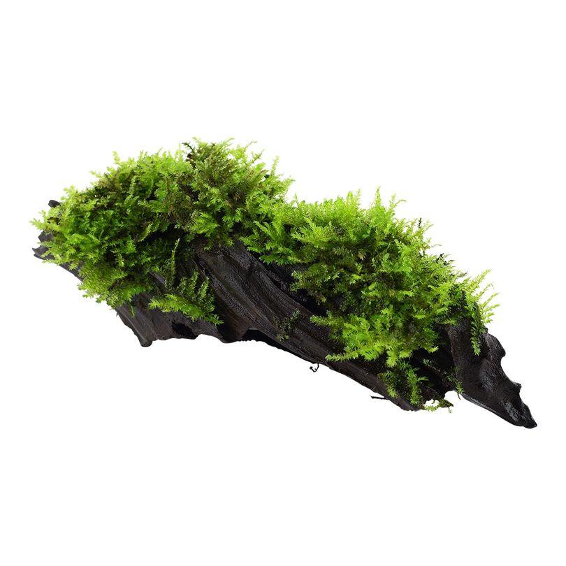 Aquarium Pflanze Vesicularia montagnei 'Christmas' auf Wurzel Tropica Nr.003A YWS