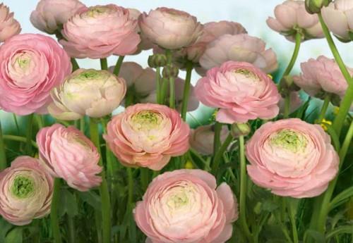 Komar Fototapete Gentle Rosé 368 x 254 cm #8-894 Bild 1