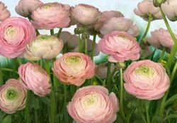 Komar Fototapete Gentle Rosé 368 x 254 cm #8-894