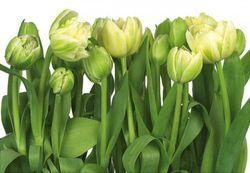 Komar Fototapete Tulips 368 x 254 cm #8-900 Bild 1