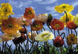 Komar Fototapete Poppy 368 x 254 cm #8-257 Bild 1