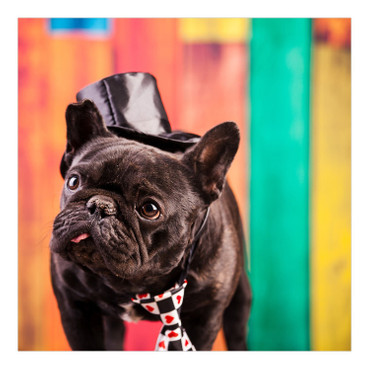 Elegante Bulldogge – Bild 5