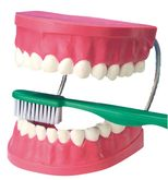 Zahnpflegemodell / Darstellung der richtigen Zahnputztechnik / Material: Kunststoff / Maße: 22 x 17,5 x 11,5 cm / für Kinder ab 3 Jahre