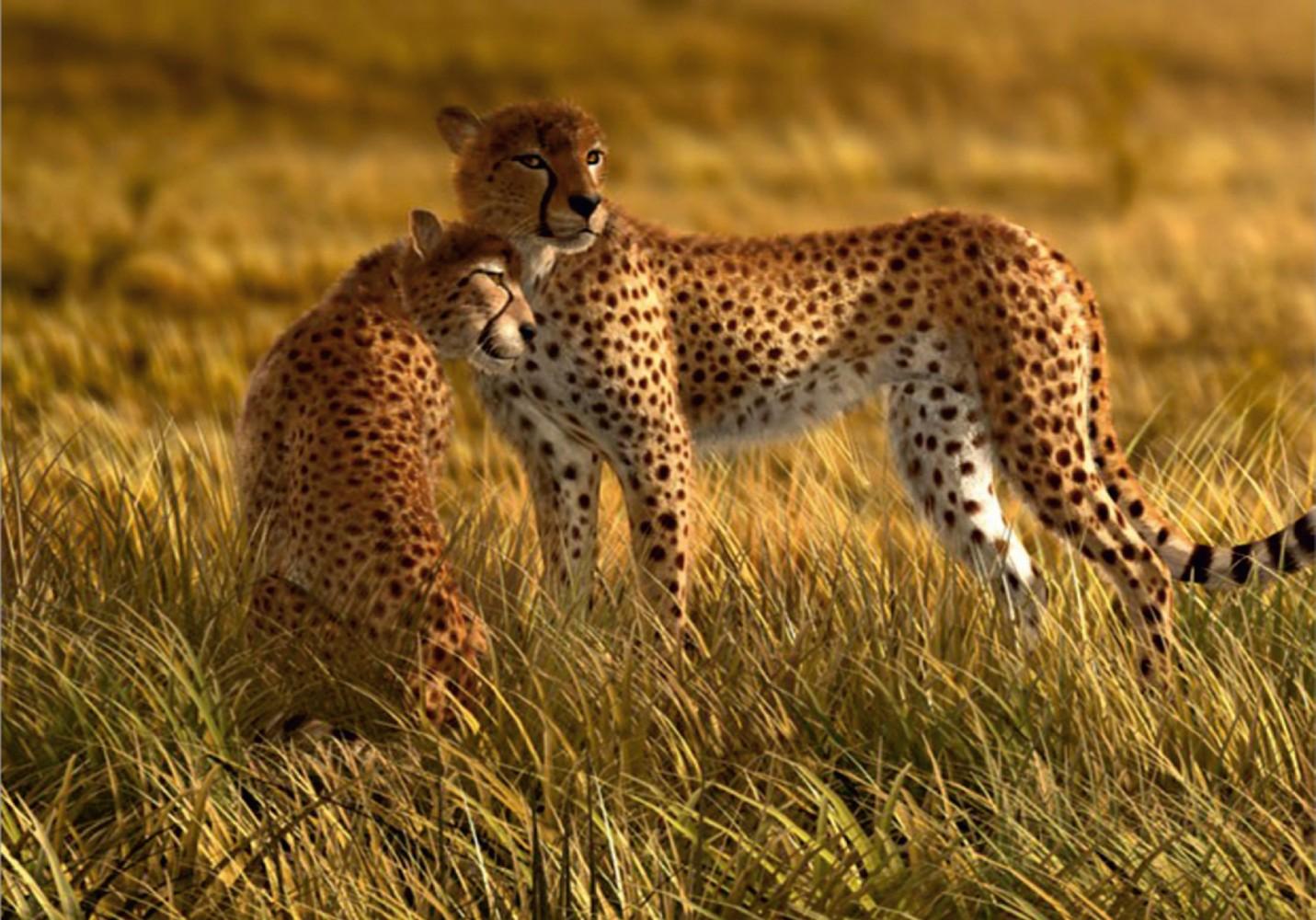 Wall Mural Wallpaper Nature Wilderness Animals Cheetah
