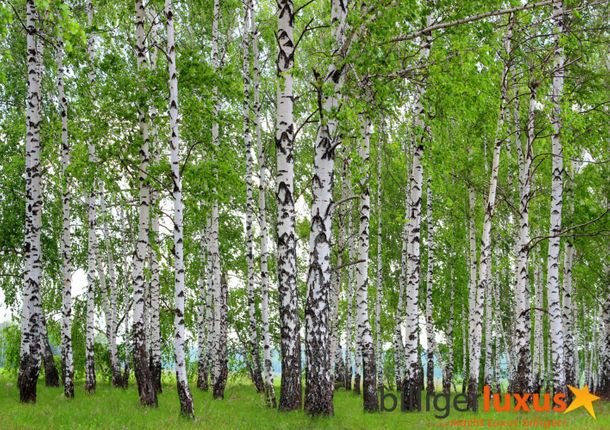 Wall mural wallpaper forest trees birch photo 360 cm x 254 cm / 3.94 yd x 2.78 yd