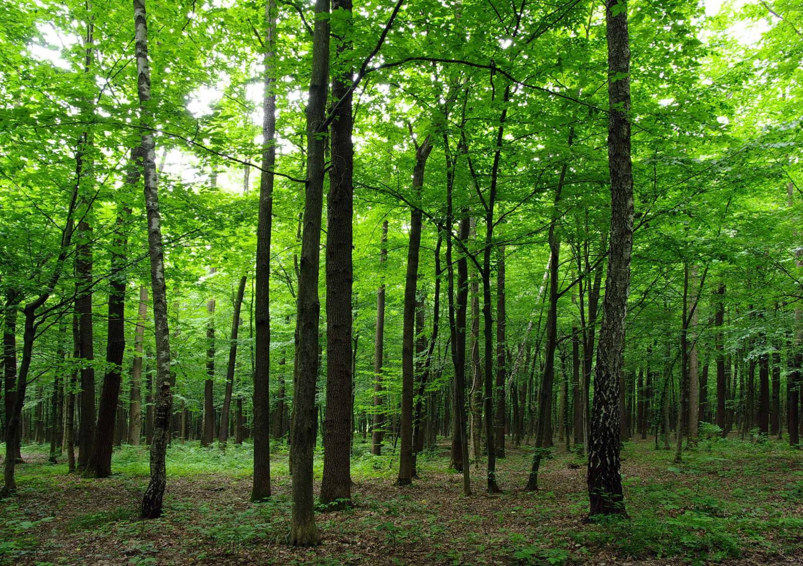 Fototapete Tapete Wald Baume Natur 360x254cm
