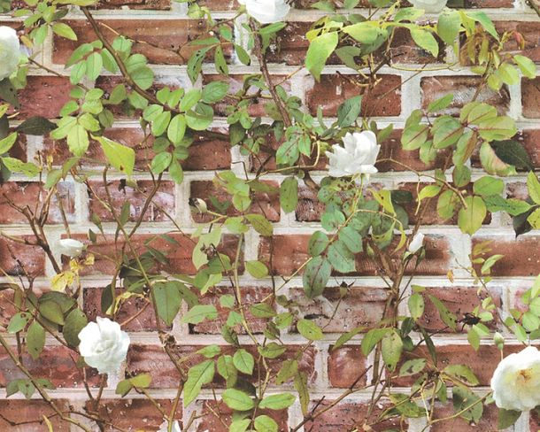 Wallpaper wall climbing plant rose brown red 36572-1 online kaufen