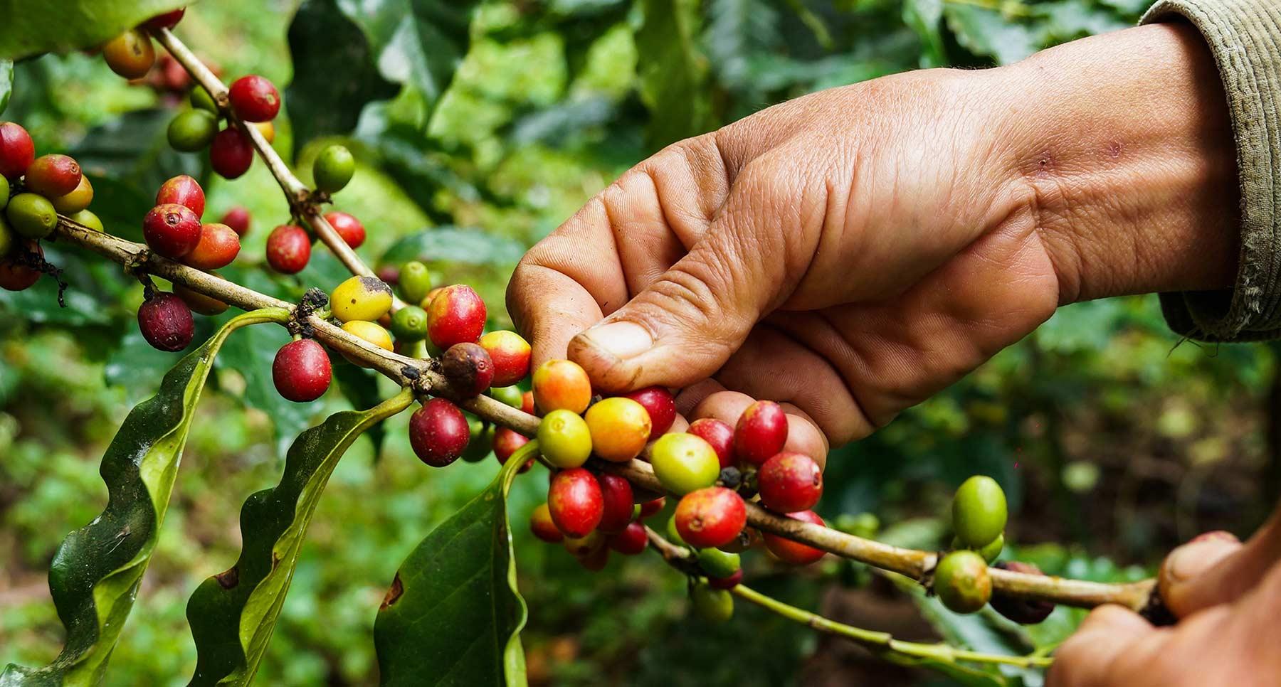 Kaffee ernten