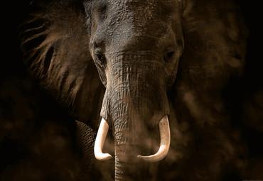 Vlies Fototapete Elefant Elfenbein 368x254cm – Bild 1
