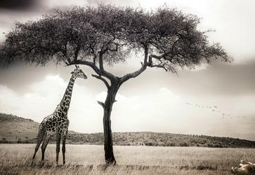 Vlies Fototapete Giraffen Safari 368x254cm – Bild 1
