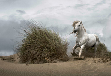 Vlies Fototapete Weißes Wildpferd 368x254cm – Bild 1