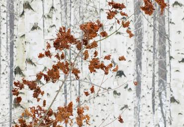 Wall Mural White Birch Forest Non-Woven 368x254cm – Bild 3