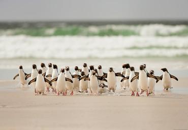 Vlies Fototapete Gehende Pinguine 368x254cm – Bild 1