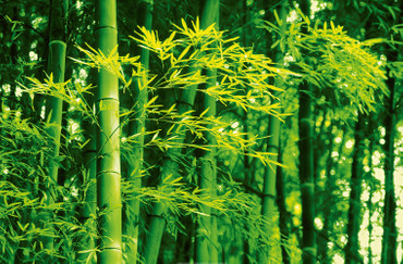 Giant Art Bamboo in Spring – Bild 2