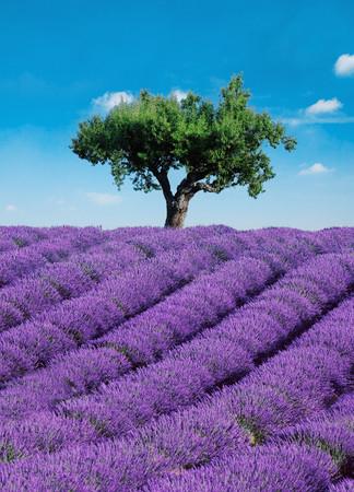 Fototapete Lavendelfeld mit Baum und blauem Himmel – Bild 2