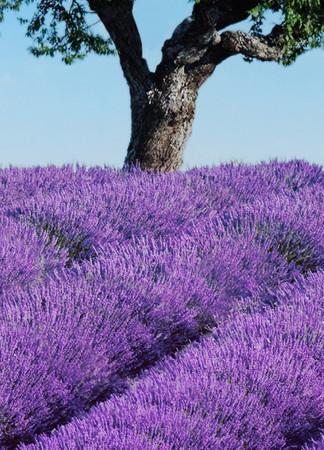 Fototapete Lavendelfeld mit Baum und blauem Himmel – Bild 4