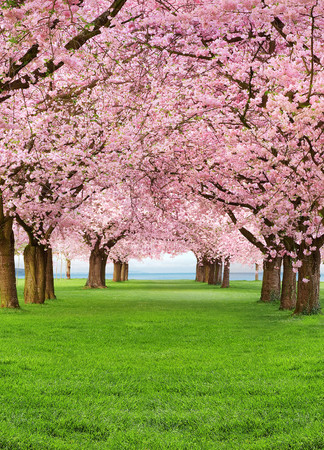 Wall Mural Cherry Trees – Bild 2
