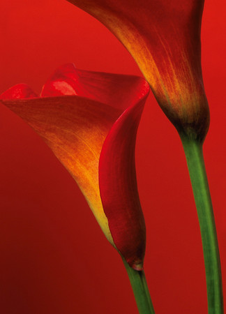 Wall Mural Red Calla Lilies