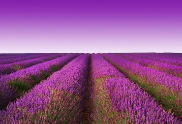 Fototapete Lavendelfeld – Bild 2
