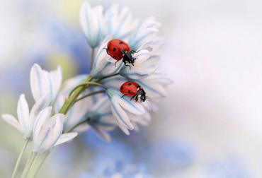 Fototapete Marienkäfer auf Blume – Bild 2