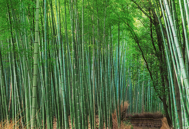 Wall Mural Bamboo Grove Kyoto – Bild 3