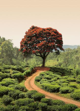 Papier Fototapete Roter Baum und Hügel in Sri Lanka 184x254cm