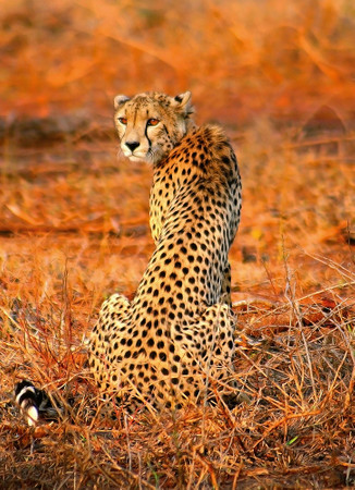 Vlies Fototapete Leopard Safari 184x254cm – Bild 1
