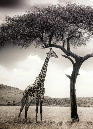 Vlies Fototapete Giraffen Safari 184x254cm – Bild 1